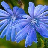 čekanka květ bylina pro zdravá játra bylinkové pesto herbiana